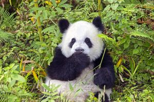 Cute Giant Panda looking guilty with paw to mouth