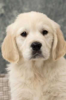 Cute Golden Retriever puppy portrait