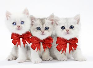 Three cute kittens wearing red Christmas bows