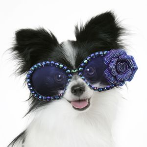 Cute Papillon Dog smiling and wearing blue glasses with a flower