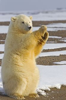 Cute Polar Bear cub clapping its paws and waving happily