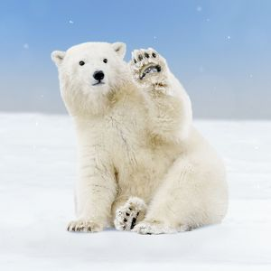 Cute Polar Bear cub waving paw sitting in the snow