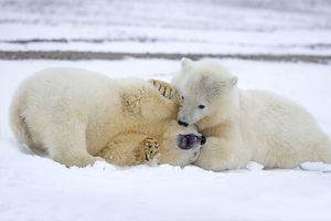 Cute Polar Bear cubs playing in the snow