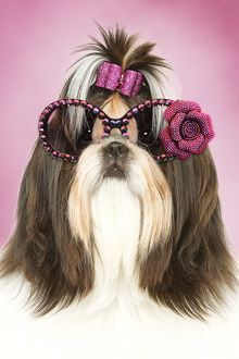 Cute Shih Tzu dog with pink bow in hair and sunglasses