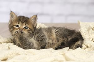 Cute Siberian kitten looking embarrased with paw to mouth