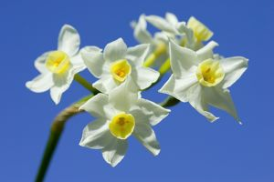 Daffodil variety Scilly White