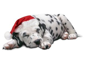 Dalmatian Dog - Puppy asleep, wearng Christmas hat