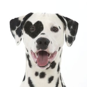 Dalmatian dog with tongue out & heart shaped spot patch over eye