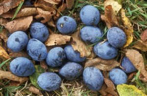 Damsons - fallen on ground