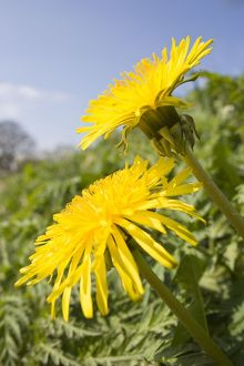 Dandelion - Flowers on roaside verge
