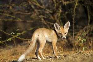 Desert Fox / White-footed Fox young at den