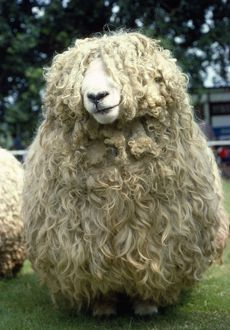 Devon & Cornwall Longwool SHEEP