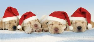Dog - 8 week old labrador puppies wearing Christmas hats