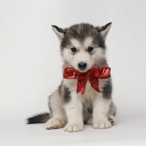 DOG - ALASKAN MALAMUTE puppy with red bow
