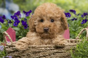 Dog - Apricot Miniature Poodle in basket