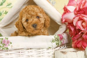 Dog - Apricot Poodle in basket with flowers