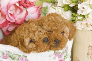 Dog - Apricot Poodles in basket with flowers