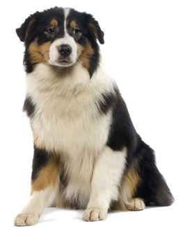 Dog - Australian Sheepdog / Shepherd Dog