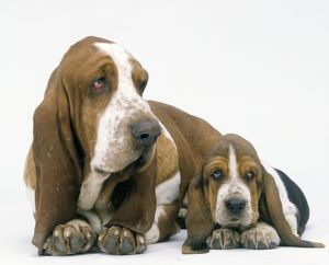 Dog - Basset Hound, adult with puppy