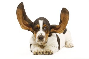 Dog - Basset Hound in studio with ears up