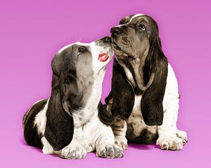 Dog - Basset Hound - two in studio 'kissing'