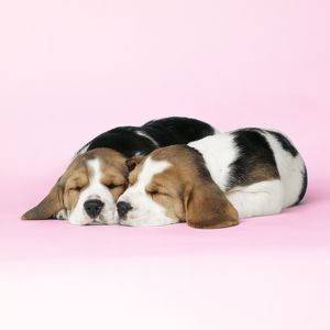 DOG - Beagle / English Beagle. Two sleeping puppies