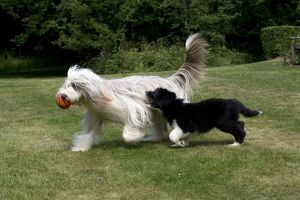 DOG - Bearded collie puppy