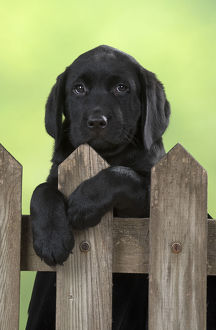 DOG. Black Labrador puppy looking over a wooden fence gate