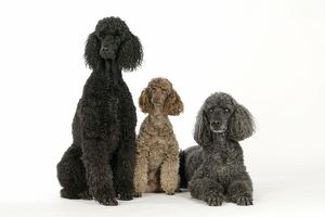 DOG. Black poodle, grey poodle and brown miniature poodle