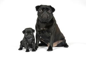 DOG. Black pug with black puppy (6 weeks old)