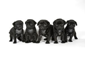 DOG. Five black pug puppies (6 weeks old)