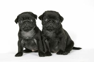 DOG. Two black pug puppies (6 weeks old)