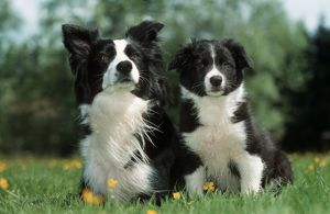 Dog - Border Collie - Adult with puppy sitting in garden