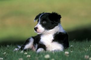 DOG - border collie puppy lying on grass