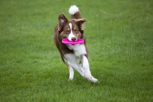 Dog - Border Collie - with red merle - playing with frisbee