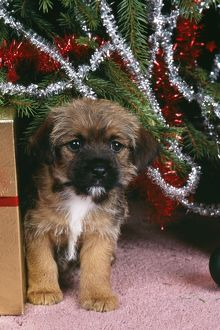 DOG - Border Terrier under Christmas tree