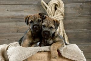 DOG - Border terrier puppies sitting in a box (13 weeks old)