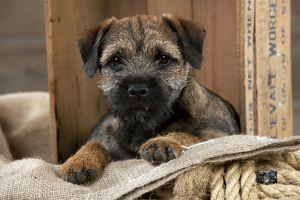 DOG - Border terrier puppy sitting in a box (13 weeks old)