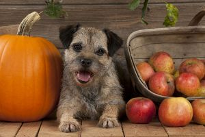 DOG - Border terrier sitting between a pumpkin and a basket of apples