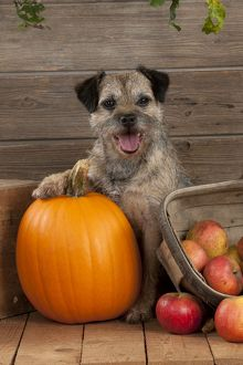 DOG - Border terrier sitting with pumpkin and a basket of apples