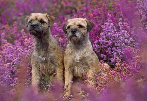 DOG - Border Terriers