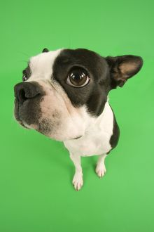 Dog - Boston Terrier in studio with green background
