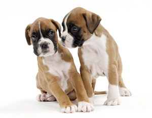 Dog Boxer puppies