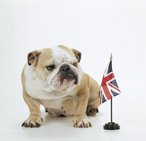DOG - Bulldog with British Union Jack flag