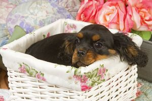 Dog - Cavalier King Charles puppy lying in basket