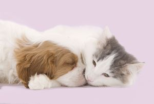Dog - Cavalier King Charles Spaniel puppy sleeping in studio with kitten