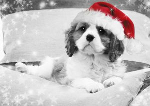 Dog - Cavalier King Charles Spaniel puppy wearing christmas hat lying on cushions