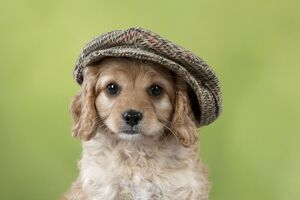 Dog Cavapoo puppy ( 7 wks old ) wearing a flat cap