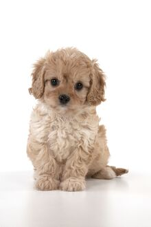 Dog Cavapoo puppy ( 7 wks old ) on white background