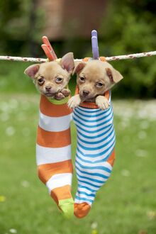 DOG - Chihuahua puppies hanging in socks (4 weeks)